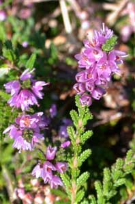 Bachblüten: Heather