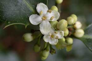 Bachblüten: Holly
