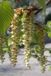 Bachblüten: Hornbeam