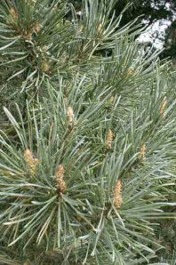 Bachblüten: Pine