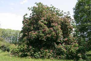 Bachblüten: Red Chestnut