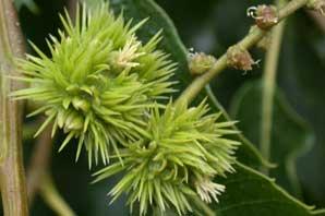 Bachblüten: Sweet Chestnut
