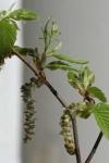 Bachblüten: Beech