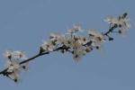 Bachblüten: Cherry Plum