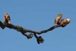 Bachblüten: Chestnut Bud