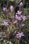Bachblüten: Gentian