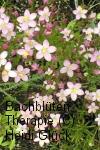 Bachblüten: Centaury