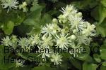 Bachblüten: Clematis