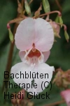 Bachblüten: Impatiens