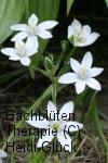 Bachblüten: Star of Bethlehem