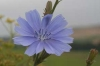 Bachblüten: Chicory