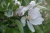Bachblüten: Crap Apple