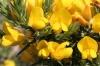 Bachblüten: Gorse