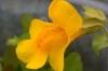 Bachblüten: Mimulus