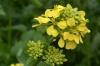 Bachblüten: Mustard