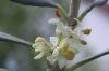 Bachblüten: Olive