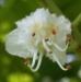 Bachblüten: White Chestnut