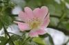 Bachblüten: Wildrose